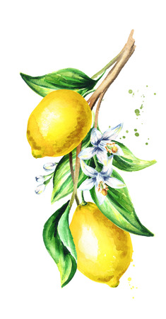 Lemon  branch with fruit and leaves. Watercolor hand drawn vertical illustration