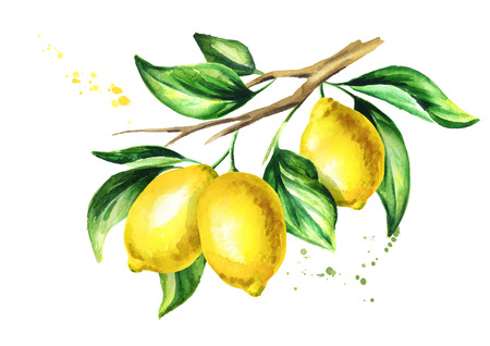 Lemon branch with fruit and leaves. Watercolor hand drawn illustration