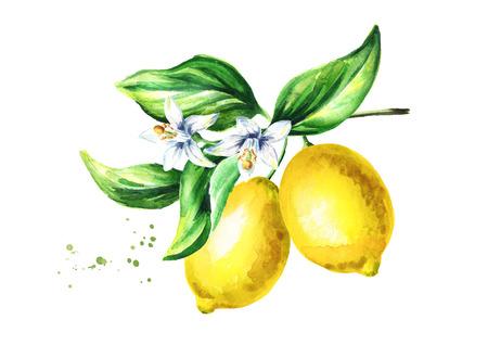 Branche de citron avec des fleurs de fruits et des feuilles. illustration tirée par la main aquarelle Banque d'images - 91518458