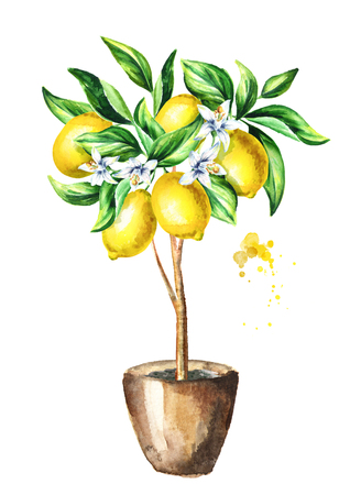 Lemon  tree with fruit and leaves.  Watercolor hand drawn vertical illustration Stock Photo