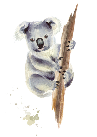 Koala bear sitting on a tree branch, isolated on white background. Watercolor hand drawing illustration Stock Photo