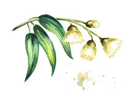 Eucalyptus branch with leaves and flowers. Isolated on white background. Watercolor hand drawn illustration