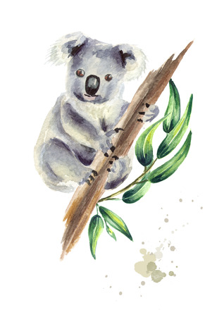 Koala bear sitting on eucalyptus branch, isolated on white background. Watercolor hand drawn illustration