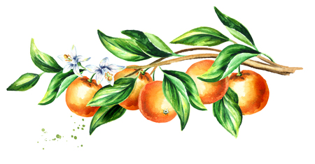 Orange  branch with fruit and leaves.  Watercolor hand drawn horizontal illustration