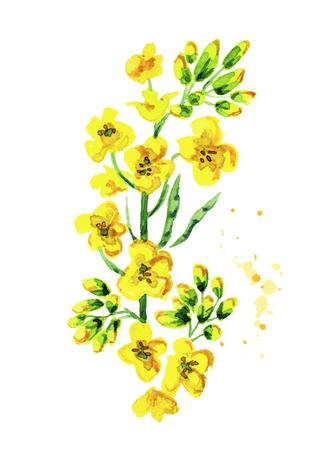 유채 꽃 식물. 수채화 손으로 그려진 그림, 흰색 배경에 고립 된 스톡 콘텐츠