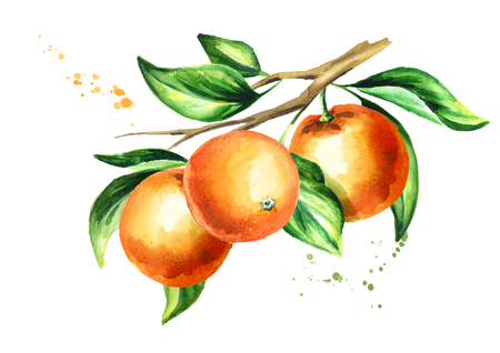 Orange branch with fruit and leaves. Watercolor hand drawn illustration, isolated on white background 免版税图像