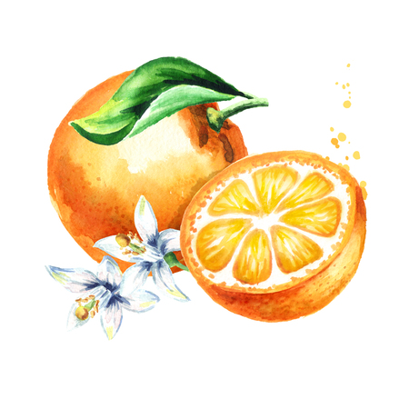 Fresh Orange fruits composition. Watercolor hand drawn illustration, isolated on white background 版權商用圖片