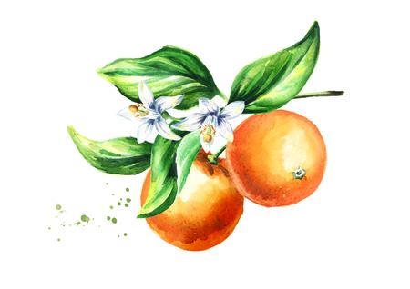Oranje tak met fruit. Aquarel hand getekende illustratie, geïsoleerd op een witte achtergrond Stockfoto