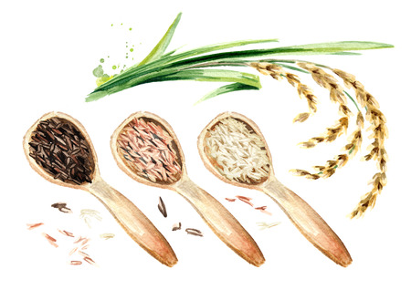 Rice plant and wooden scoops with different rice types, top view. Watercolor hand drawn illustration, isolated on white background