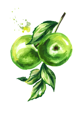 Fresh green apples branch. Hand drawn watercolor illustration, isolated on white background