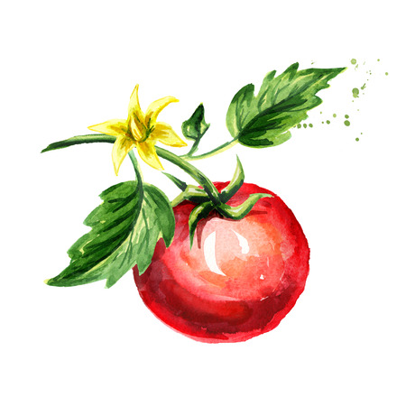 Ripe tomato on a branch with leaves and flower. Watercolor hand drawn illustration, isolated on white background