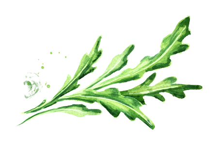 Rucola. Watercolor hand drawn illustration, isolated on white background