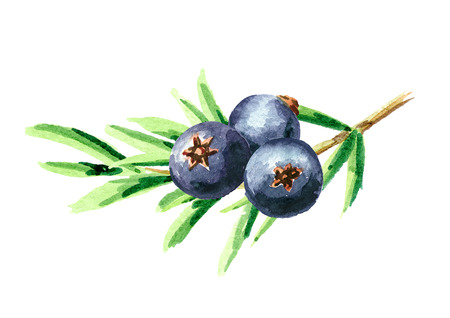 Juniper branch with berries. Watercolor hand drawn illustration isolated on white background