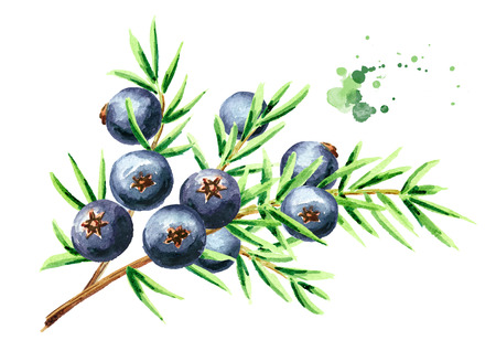 Juniper branch with berries. Watercolor hand drawn illustration, isolated on white background