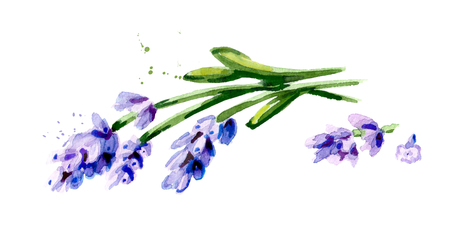 Lavender flowers. Watercolor hand drawn illustration isolated on white background Stock Photo