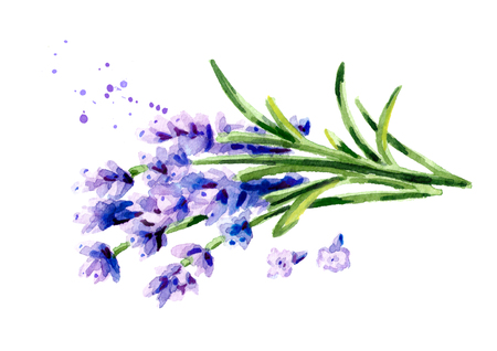 Lavender flowers. Watercolor hand drawn illustration, isolated on white background