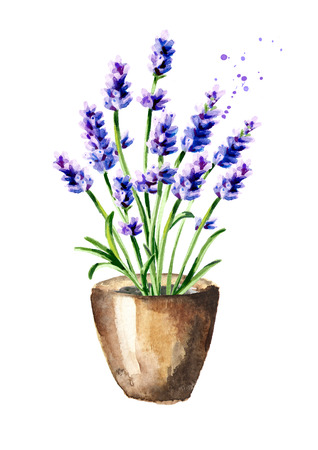 Lavender flowet in the pot. Watercolor hand drawn illustration, isolated on white background Stock Photo