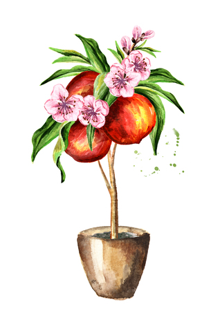 Peach  tree with fruit and leaves.  Watercolor hand drawn vertical illustration, isolated on white background Stock Photo