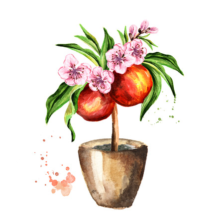 Peach tree with fruits, flowers and leaves.  Watercolor hand drawn illustration , isolated on white background