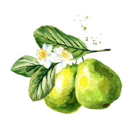 Green guava branch with fruits, leaves and flowers, isolated on white background. Watercolor hand drawn illustration 版權商用圖片