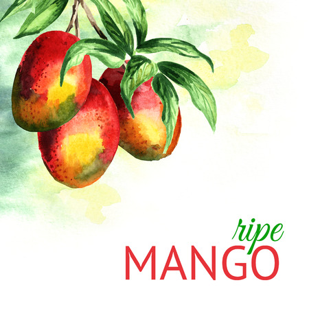 Mango branch background. Watercolor hand drawn illustration