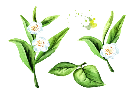 Green tea leaves with flowers set. Watercolor hand drawn illustration,  isolated on white background Banco de Imagens