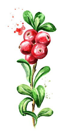 Cranberry branch. Fresh berries with leaves. Hand drawn watercolor vertical illustration, isolated on white background Stock Photo