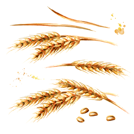 Ears of wheat  set. Watercolor hand drawn illustration, isolated on white background Фото со стока