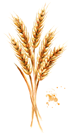 Ears of wheat. Watercolor hand drawn illustration, isolated on white background