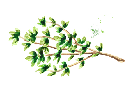 Branch of fresh thyme herb . Watercolor hand drawn illustration, isolated on white background Stock Photo