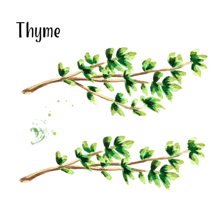 Thyme herb set. Watercolor hand drawn illustration, isolated on white background