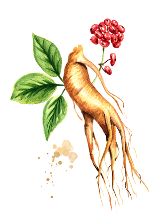 Organic fresh ginseng root and green leaf and red flower. Watercolor hand drawn illustration isolated on white background 版權商用圖片