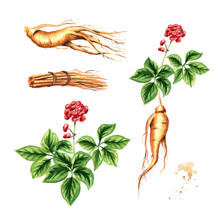 Organic fresh ginseng set. Root, leaf, flower. Watercolor hand drawn illustration, isolated on white background
