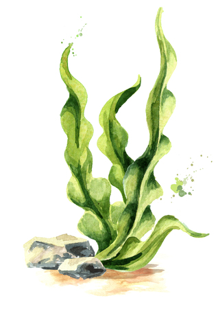 Laminaria seaweed, sea kale. Algae composition. Superfood. Watercolor hand drawn illustration, isolated on white background 版權商用圖片