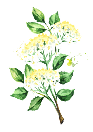 Elder branch with flowers and leaves. Watercolor hand drawn illustration, isolated on white background