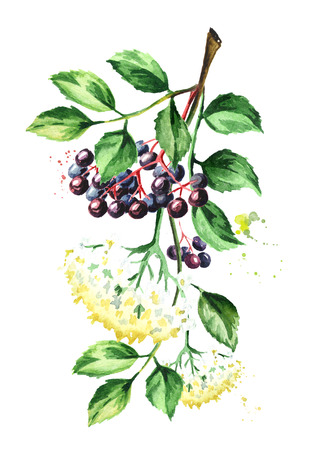 Elder branch with flowers, leaves and elderberry. Watercolor hand drawn illustration, isolated on white background