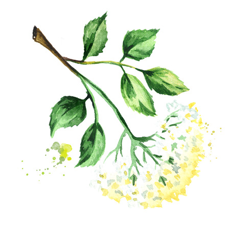 Elder flower blossom with leaves on the branch. Watercolor hand drawn illustration, isolated on white background Stok Fotoğraf