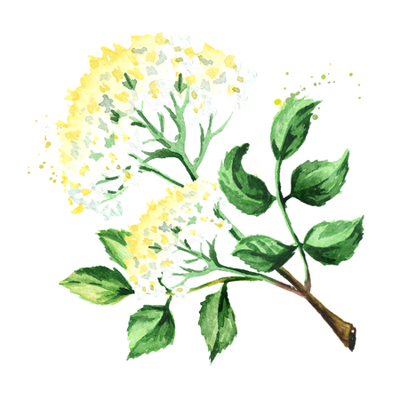Elder flower blossoms. Watercolor hand drawn illustration, isolated on white background Stok Fotoğraf