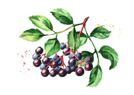 Elderberry  branch. Watercolor hand drawn illustration, isolated on white background Foto de archivo