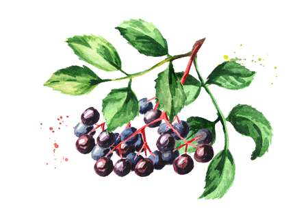 Elderberry  branch. Watercolor hand drawn illustration, isolated on white background Stok Fotoğraf