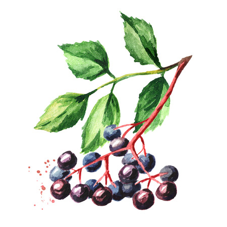 Elderberry with leaves on the branch. Watercolor hand drawn illustration, isolated on white background
