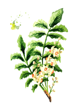 Boswellia carterii Frankincense tree branch with leaves and flowers. Watercolor hand drawn illustration, isolated on white background Stock Photo