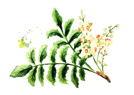 Boswellia carterii Frankincense tree branch with leaves and flowers. Watercolor hand drawn illustration, isolated on white background