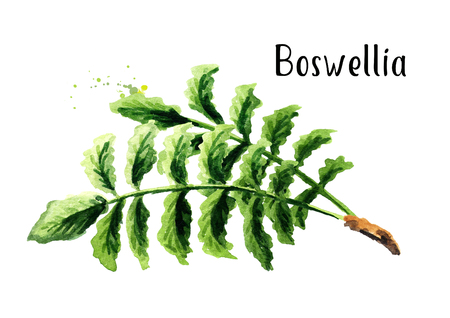 Boswellia carterii Frankincense tree branch with leaves. Watercolor hand drawn illustration, isolated on white background