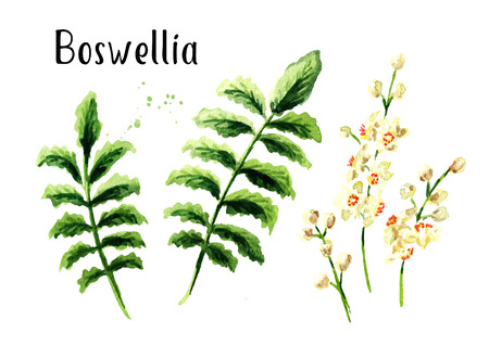 Boswellia carterii Frankincense tree elements set with leaves and flowers. Watercolor hand drawn illustration isolated on white background