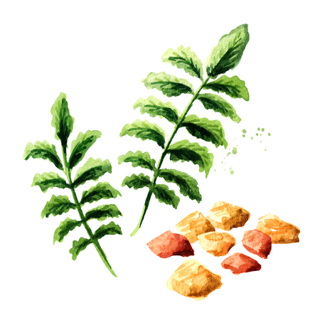 Frankincense dhoop and Boswellia carterii Frankincense tree leaves. Watercolor hand drawn illustration, isolated on white background