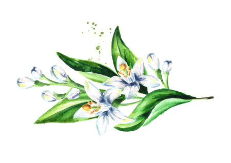 Neroli branch with flowers and leaves. Watercolor hand drawn illustration isolated on white background 스톡 콘텐츠