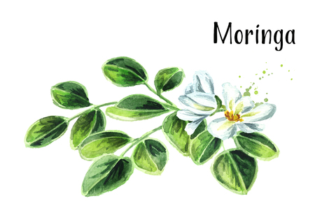 Herbal Moringa leaves and flowers. Watercolor hand drawn illustration, isolated on white background Stock Photo