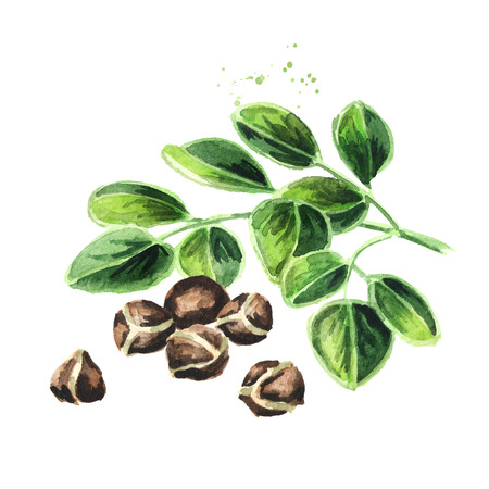 Herbal Moringa leaves with seeds. Watercolor hand drawn illustration  isolated on white background