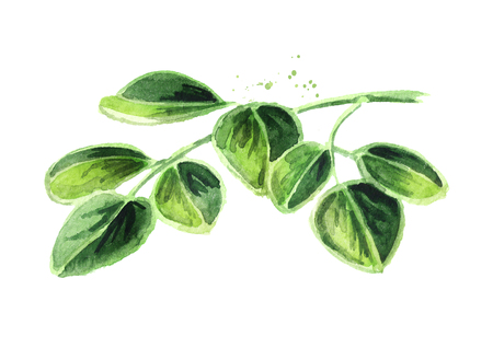 Herbal Moringa leaves. Watercolor hand drawn illustration, isolated on white background